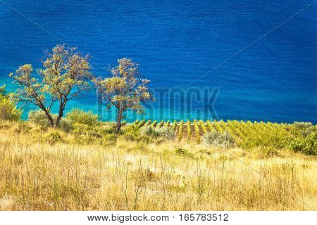 Vineyard And Beautiful Coast By Turquoise Sea