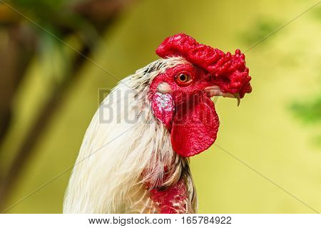 Chicken rooster head portrait closeup detail of farm poultry bird.