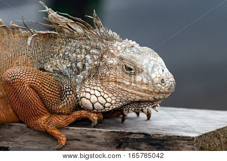 Iguana Indonesia Close Up Portrait Looking At You