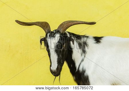 Goat head horns male animal portrait with yellow background wall