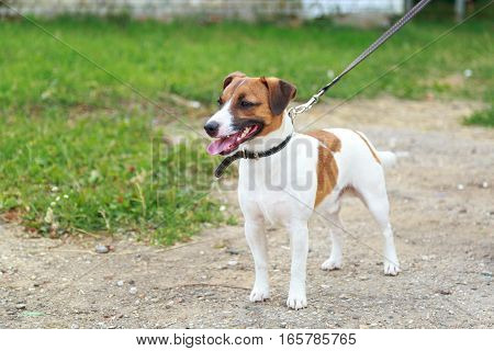 Dog Breed Jack Russell Terrier Standing