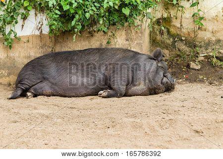 Pig large animal closeup sleeping farm pen.