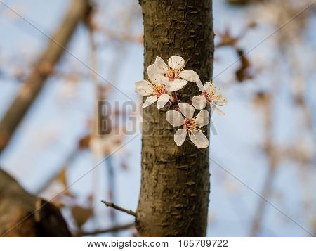A blooming branch of tree on a trunk in spring