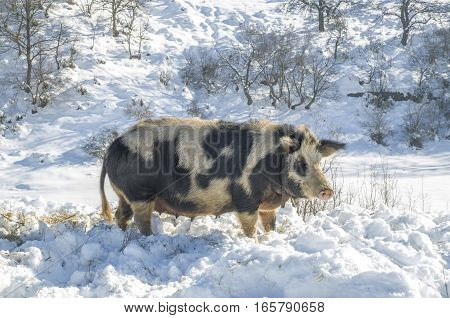 Bulgarian local pig breed of ancient origin. East Balkan sow with bell