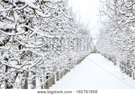 Apple Orchard Covered With Snow In Winter