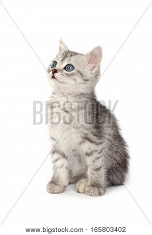 Little Gray Kitten isolated on white background