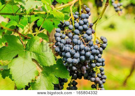 large bunches of red wine grapes hang from a vine warm background color.