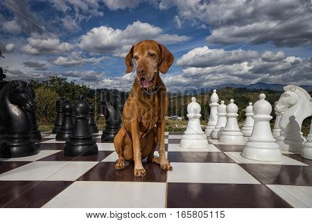 pure breed vizsla dog sitting on a large chess board outdoors