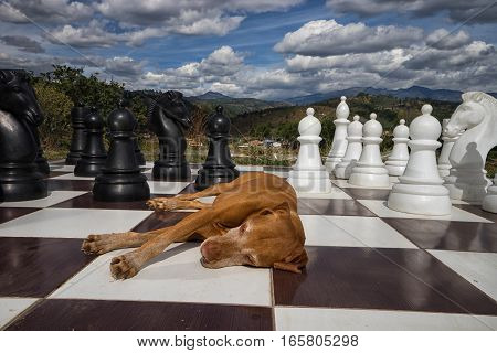 golden color vizsla dog laying on a chessboard outdoors