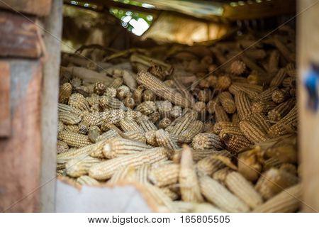 Stack of corn cobs in african storeroom Kenya