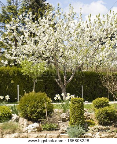 Spring landscape with white cherry tree in blossom in park recorded in Saints Constantine and Helena resort Bulgaria.