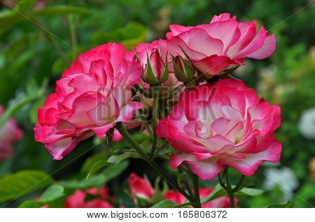 Beautiful pink and white roses in full bloom