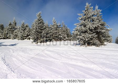 snow-covered fir in the mountains along the ski slopes