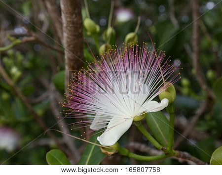 Flower Barringtonia asiatica Fish Poison Tree Sea Poison Tree closeup on blurred gray green background