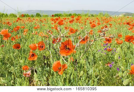 Meadow with red poppies recorded in region Crimea Ukraine.