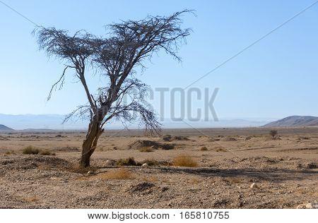 Lone Tree In The Israel Negev Desert