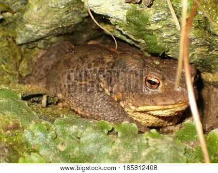Photo of a big brown toad hiding between the rocks