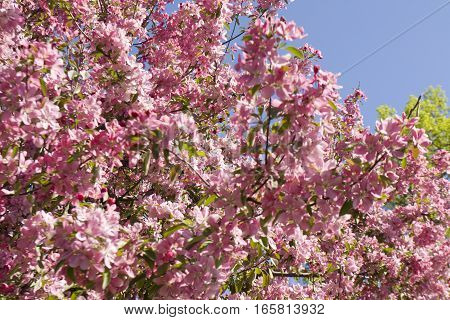 Branches of pink Japanese cherry tree - sakura - on blue sky.
