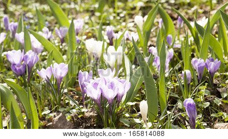 Many violet and white crocuses on ground.