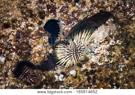 Rock-boring sea urchins in rock sea burrows