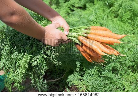 Boy hold clean carrots in the vegetable garden
