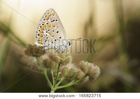 Butterflies Polyommatus baby (lat. Pseudophilotes bavius) on the umbrella of seeds of wild carrot (lat. Daucus carota)