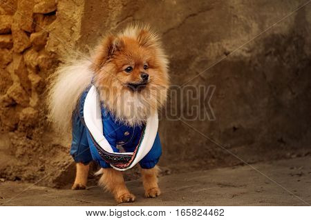 The Pensive,Fluffy pomerian spitz,dog,puppy in the blue dress,pullover,sweater with white scarf is staying on the sidewalk with warm tone