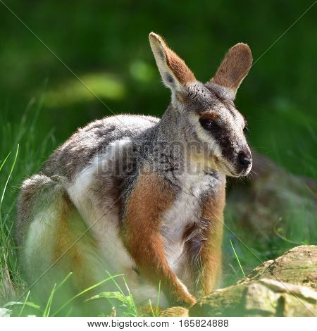 cute australian yellow wallaby against green background