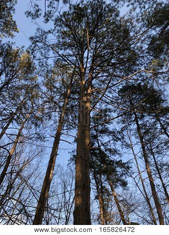 Very tall oak trees illuminated by sunset on Fort Yargo State Park Winder Georga next to Athens and Russel