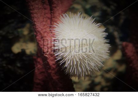 A white sea urchin on coral in the tank
