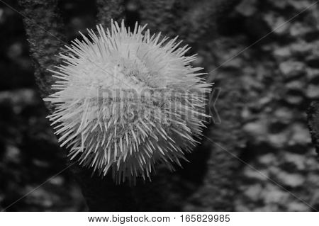 A white sea urchin in the tank