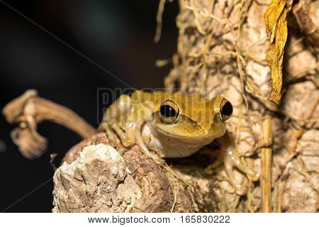 Beautiful Frog Boophis Rhodoscelis Madagascar