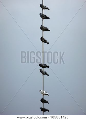 Photo of a flock of pigeons sitting on a power line