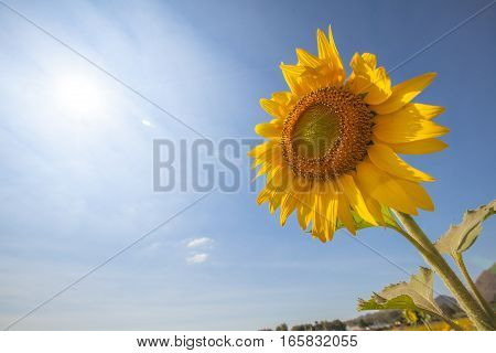 Sunflower and sun-low angle shot with sky