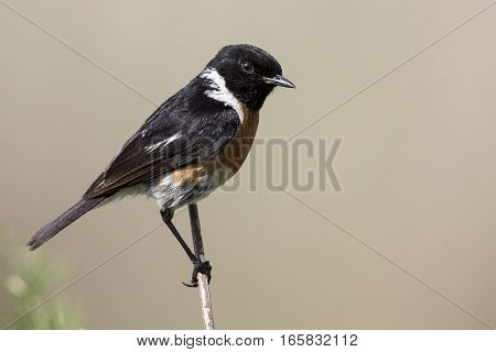 Common stone chat sit on a twig on a lovely soft brown background