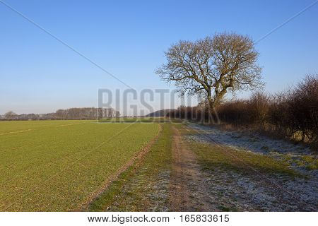Ash Tree And Frosty Track