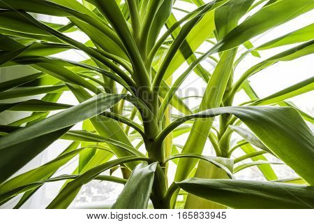 Green leaf Yucca in detail near the window
