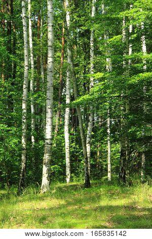 Green Birch Forest