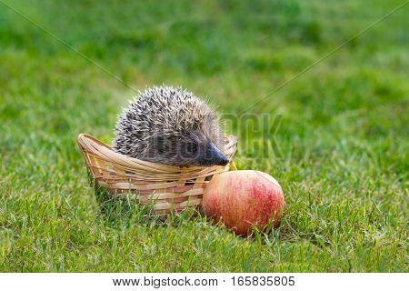 Hedgehog (lat. Erinaceus europaeus) in the basket and the Apple on the grass