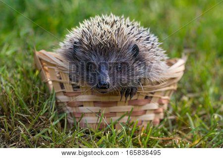 Hedgehog (lat. Erinaceus europaeus) in a basket