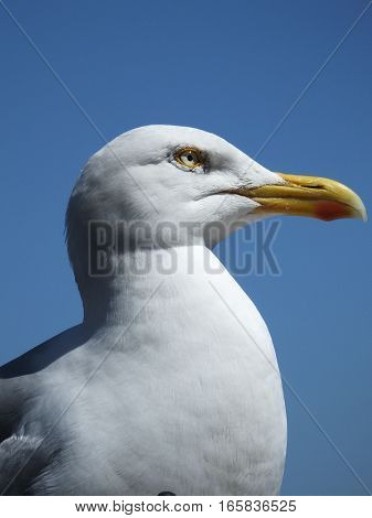 Close up of Herring Gull against a vivid blue sky