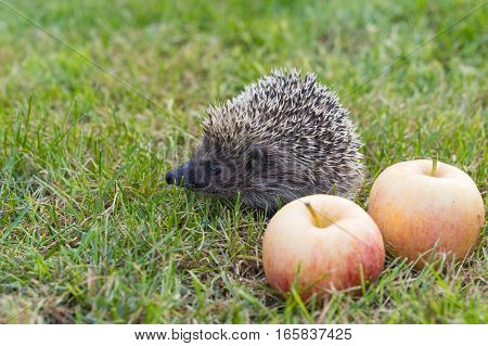 The common hedgehog (lat. Erinaceus europaeus) with apples on the grass
