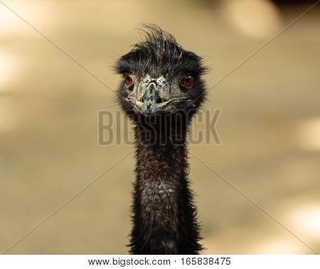 A close up portrait picture of an emu looking straight into the camera