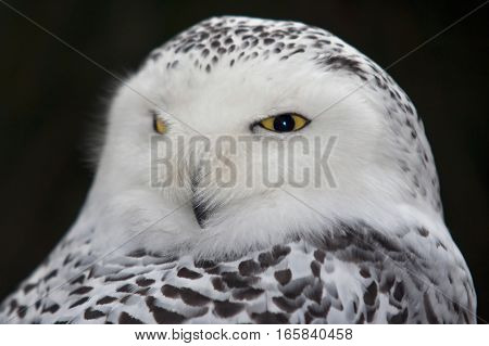 Detail of the head - snow owl - harfang