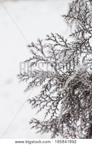 branch covered with snow and frost. natural winter background