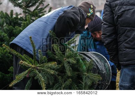 Bucharest Romania December 20 2013: Vendors are binding a natural Christmas tree in a Christmas tree market in Bucharest.