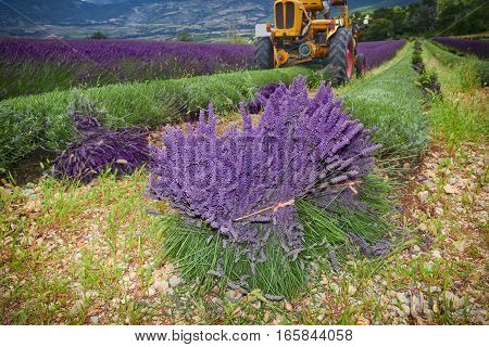 Tractor Harvesting Field Of Lavender, Rhone-alpes, France