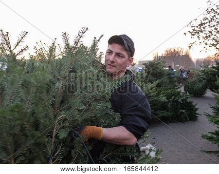 Bucharest Romania December 24 2015: A man carry a natural Christmas tree in a Christmas tree market in Bucharest.