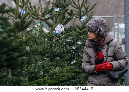 Bucharest Romania December 20 2013: A woman is looking at natural Christmas tree in a Christmas trees market in Bucharest.