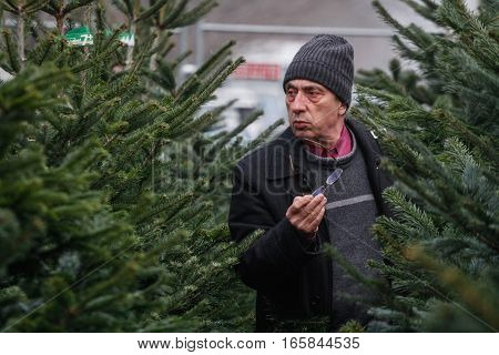 Bucharest Romania December 20 2013: A man is looking at natural Christmas tree in a Christmas trees market in Bucharest.